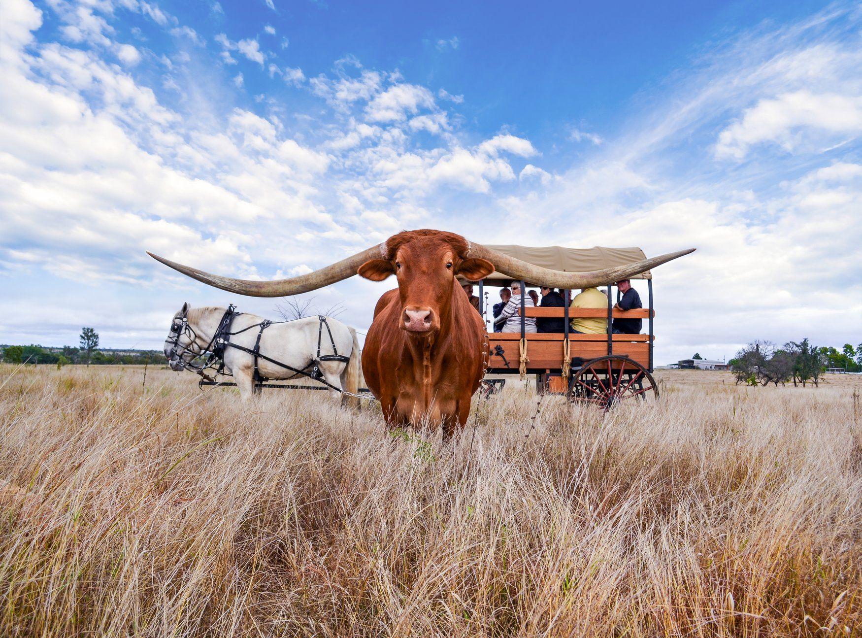Texas Longhorn Tours